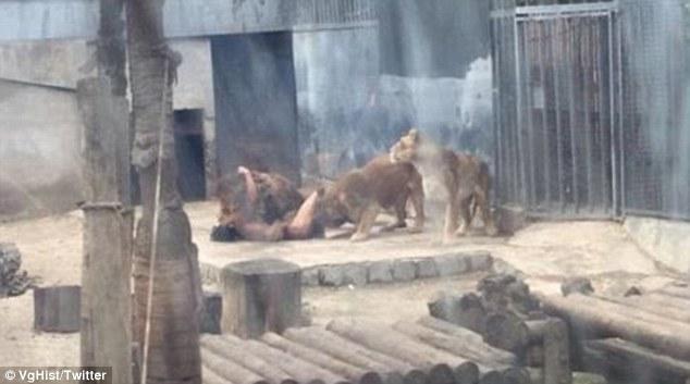 خودکشی احمقانه در قفس شیرها +فیلم و عکس