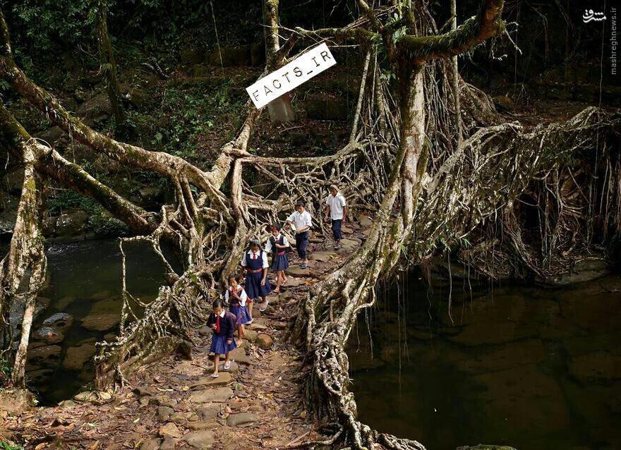 عکس/ پل زنده در جنگلهای هندوستان