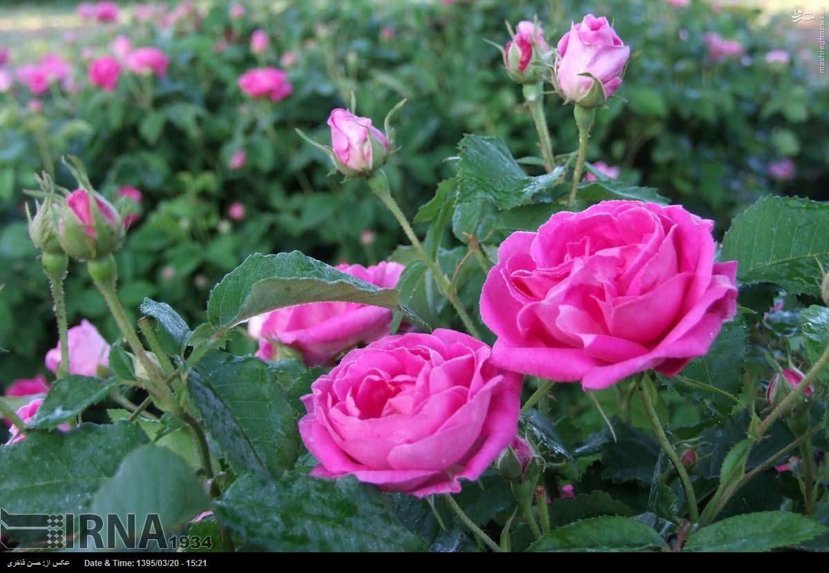هوا شناسی شهرستان خوی برداشت گل محمدی در شهرستان خوی