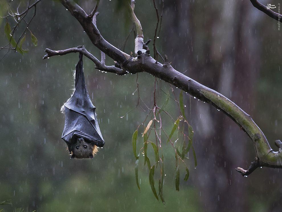 عکس/ خفاش باران دیده