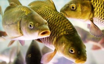 نابودگری به نام «ماهی تیلاپیا»