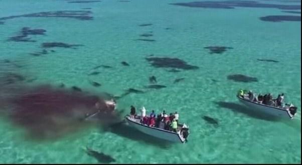 حمله ۷۰ کوسه ببری به یک نهنگ ۳۶ تنی +تصاویر