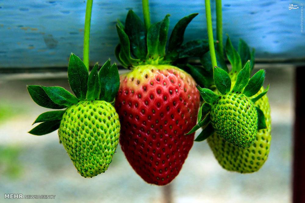 عکس/ پرورش توتفرنگی گلخانهای