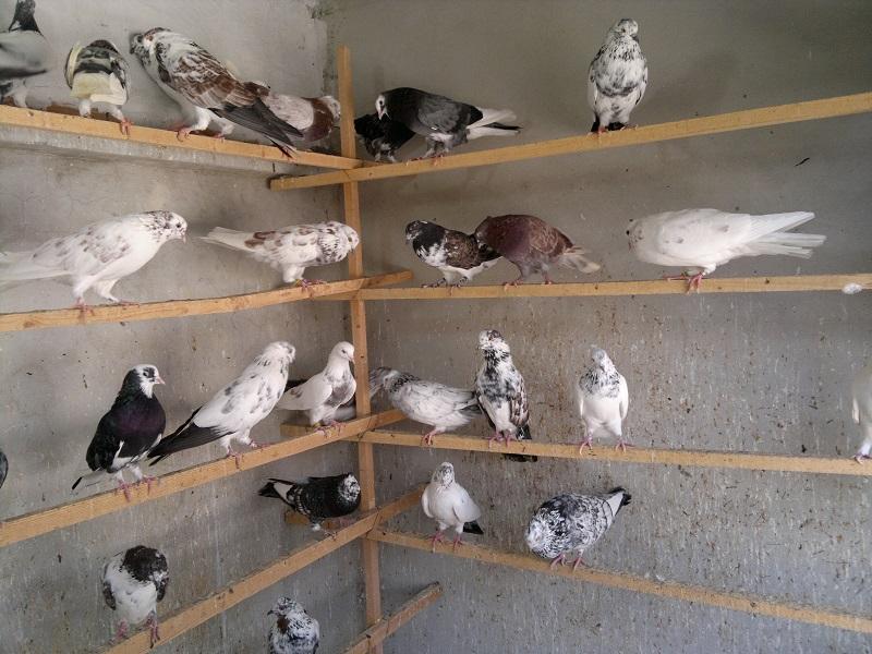 «گِروبَندی» کبوترها، در اقتصاد زیرزمینی