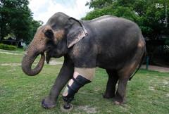 عکس/ اولین فیل با پای مصنوعی!
