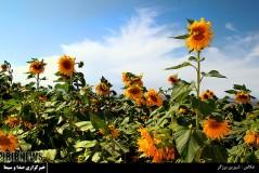 عکس/ مزرعه زیبای آفتابگردان در قزوین