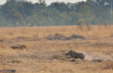 عکس/ فرار شکار از مقابل گله شیرها