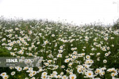 عکس/ دشت گلهای بابونه