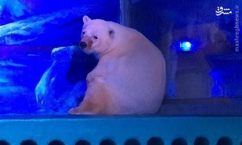 «پیتزا» غمگینترین خرس قطبی روی زمین+عکس