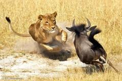 عکس/ شکار گوزن یالدار توسط شیر