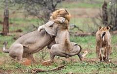 عکس/ نبرد دو شیر نَر برای تصاحب شیر ماده