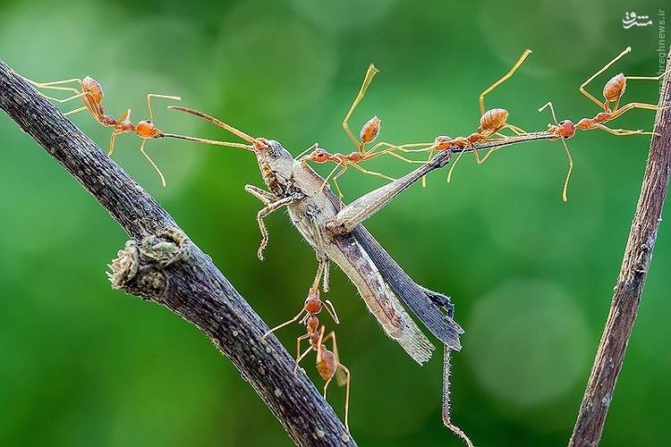 عکس/به دام انداختن ملخ توسط مورچهها
