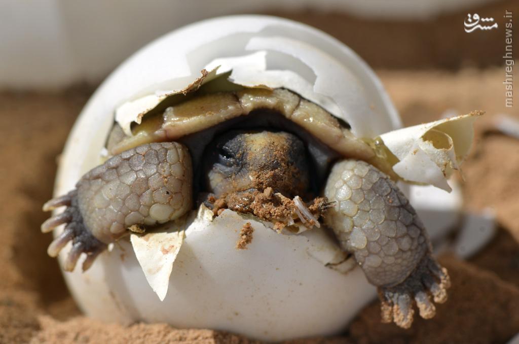 عکس/ لحظه تولد لاکپشت