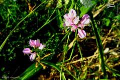 عکس/ گیاهان دارویی دامنه رشته کوه زاگرس
