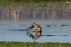 عکس/ کانگورویی که شکار تمساح شد