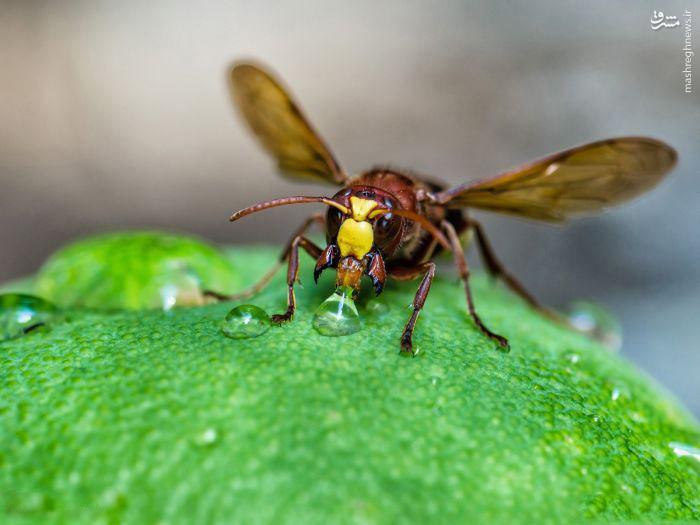 عکس/ زنبور در حال نوشیدن آب
