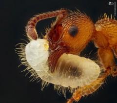 تصویر استثنایی از حمل لارو توسط مورچه