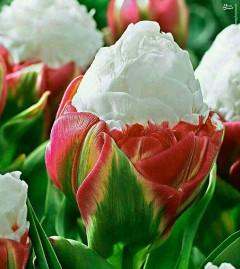 عکس/ گل لاله جالب موسوم به لاله بستنی