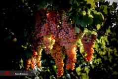عکس/ برداشت انگور و تولید کشمش در تاکستان