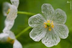 عکس/ گل اعجاب انگیز اسکلتی