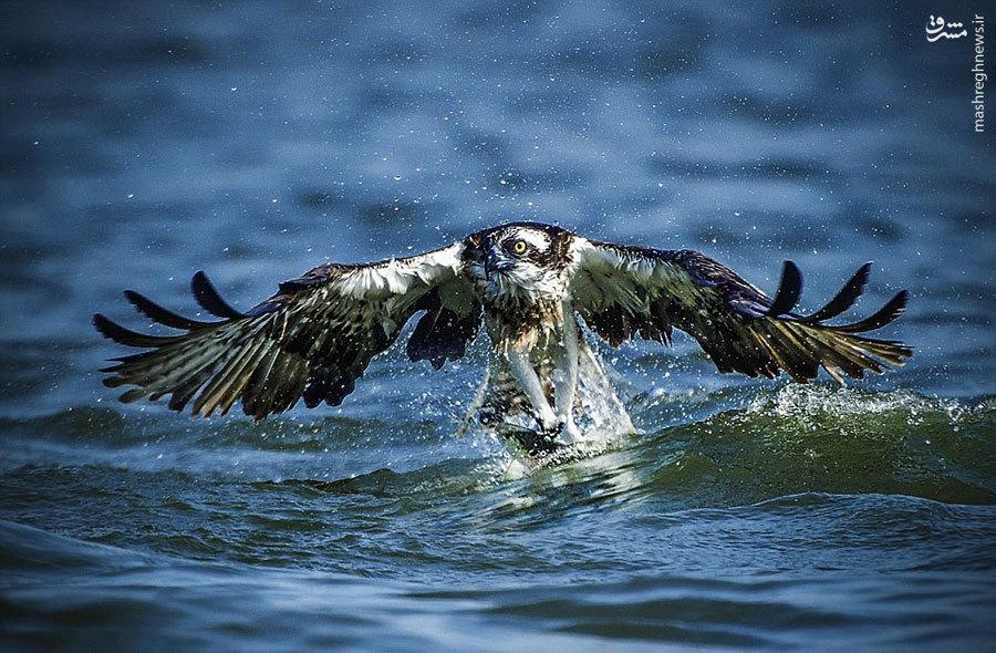 عکس حیوانات عقاب