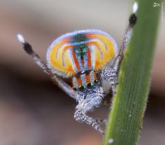 عکس/ عنکبوت طاووسی