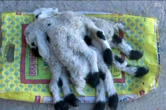عکس/ تولد گوسفند ۸ پا در خاش!