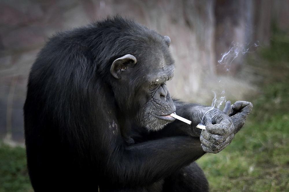عکس/میمونی که بدآموزی دارد!