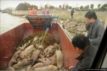 جمعآوری خوکهای مرده از رودخانه اصلی شانگهای.گوشت این خوکها به صورت غیرمجاز وارد بازار مصرف میشود.