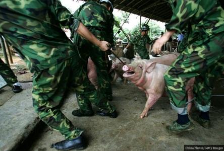 کشف محل نگهداری غیرمجاز خوک