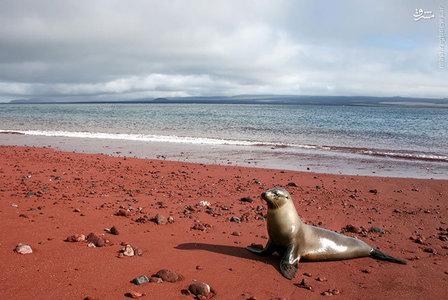 شن و ماسه این ساحل قرمز در گالپاگوس به علت اکسیداسیون مواد مذاب سرشار از آهن به این رنگ در آمده است.