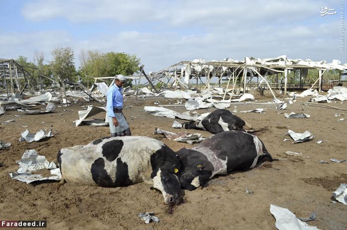 اجساد گاوهای کشته شده در اثر بمباران هوایی