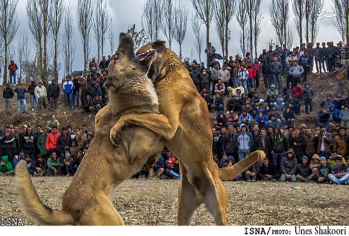 سگ زنجان