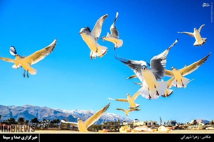 عکس/ پرندههای مهاجر در شیراز