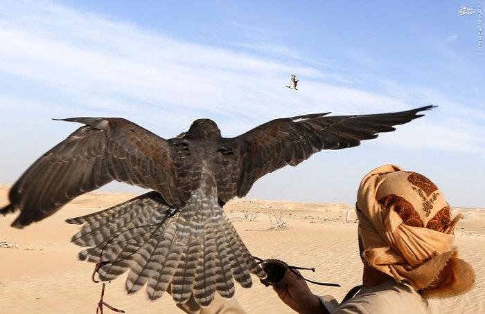 وحشیگری قیمت شاهین ایرانی شکار شاهین ایرانی سفر به امارات زندگی در امارات توریستی امارات