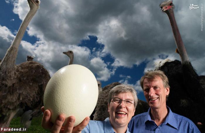 رکورد دار سنگین ترین تخم یک پرنده در مزرعه