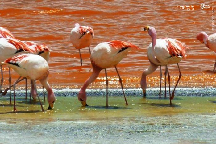 لاگونا کلورادا (Laguna Colorada) یا تالاب سرخ یک دریاچهی آب شور است که در منطقهی آلتیپلانو (Altiplano) کشور بولیوی واقع شده است. این دریاچه از رشتهکوه آند سرچشمه میگیرد و نام آن از رنگ قرمز جلبکها و خزهها و رسوبات اطراف دریاچه گرفته شده است. گرچه سطح این دریاچه شبیه به یخهایی شناور به نظر میرسد، اما در واقع سطح آن با جزایری از بوراکس و حلقههایی از گوگرد پوشیده شده است. به دلیل وجود نمک فراوان، این دریاچه محل تجمع و رفتوآمد فلامینگوهای جیمز است.