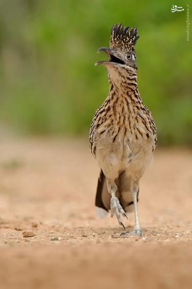 میگ میگ عکس حیوانات عکس پرنده رودرانر پرنده زیبا Road runner