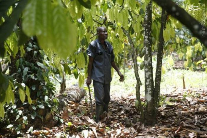 عکس/ مزرعه کاکائو در نیجریه
