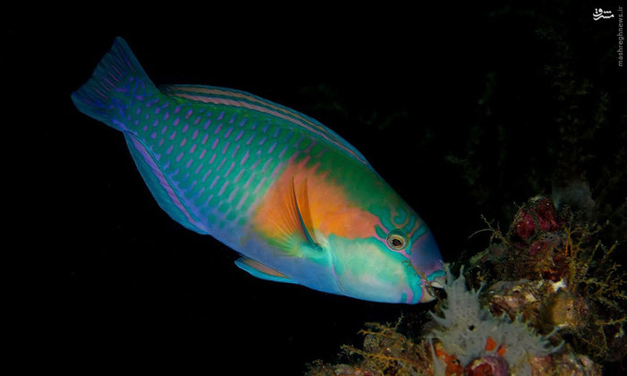 عکس دو جنسه طوطی ماهی حیوانات عجیب دنیا تغییر جنسیت