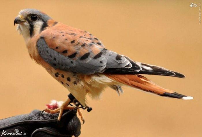 ۲) دلیجه آمریکایی | American Kestrel:::::::::: این پرنده یکی از زیباترین و کوچک ترین پرنده های شکاری دنیا است و زیستگاه آن کانادا و جزایر فالکلند است.
