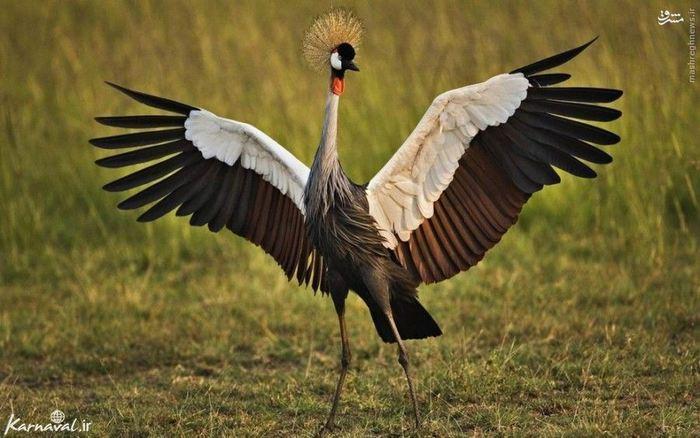 ۴) درنای تاجدار | Crowned Crane:::::::::: درنای تاجدار هم یکی دیگر از زیباترین گونه های پرندگان به شمار می آید و زیستگاه آن قسمت های غربی و شرقی آفریقا است. این پرنده در هنگام جفت گیری حرکاتی زیبا و رقصی منحصر به فرد دارد که باعث متمایز شدن آن با گونه های دیگر می شود.