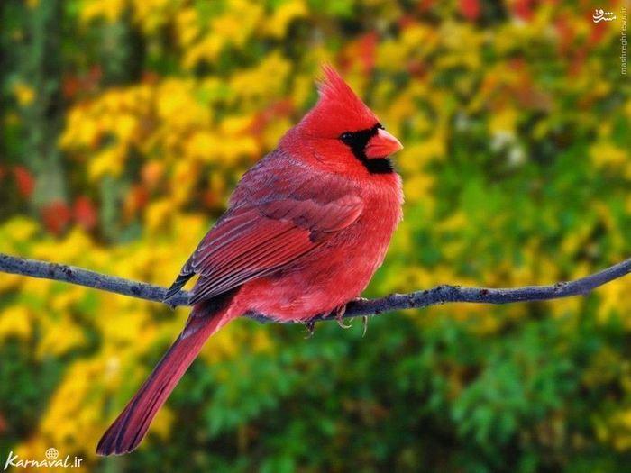 ۵) کاردینال تاج قرمز | Red Cardinal:::::::::: این گونه جذاب در جنوب شرقی کانادا و شرق آمریکا و مکزیک یافت می شود. گونه نر دارای رنگ قرمز روشن و لکه هایی سیاه در صورت می باشد و گونه ماده از این پرنده دارای رنگ قهوه ای مایل به قرمز در بال ها و سینه است.