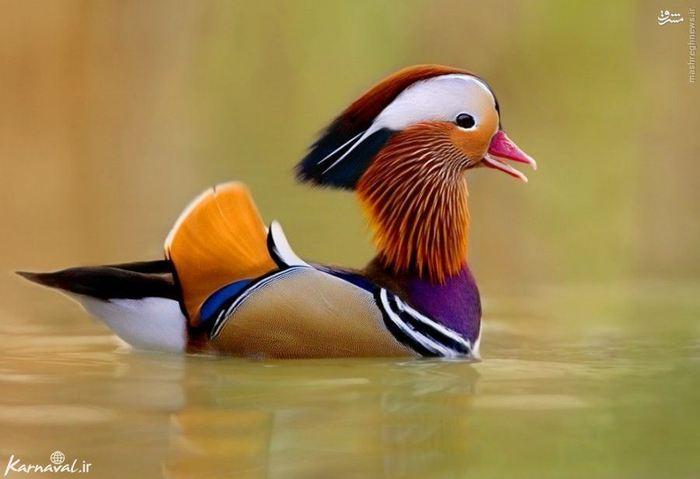 ۸) اردک ماندارین | Mandarin :::::::::: این اردک بر روی صخره ها و شاخه های درختان دیده می شود و از آن جایی که بسیار زیبا است گونه ای محافظت شده است که در پارک های ملی از آن مراقبت می شود.