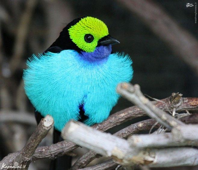 ۹) تاناجر بهشتی | Paradise tanager:::::::::: زیستگاه این پرنده زیبا در شرق بولیوی، کلمبیا، گویان و برزیل گزارش شده است. این پرنده زیبا ترکیب رنگی بسیار چشم نوازی دارد و می تواند در دسته زیباترین پرنده های جهای گیرد.