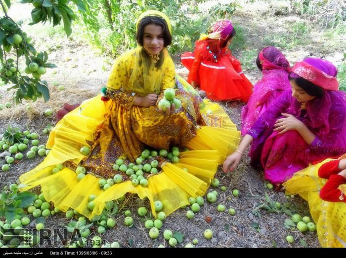 برداشت سیب ترش در بخش ارم دشتستان