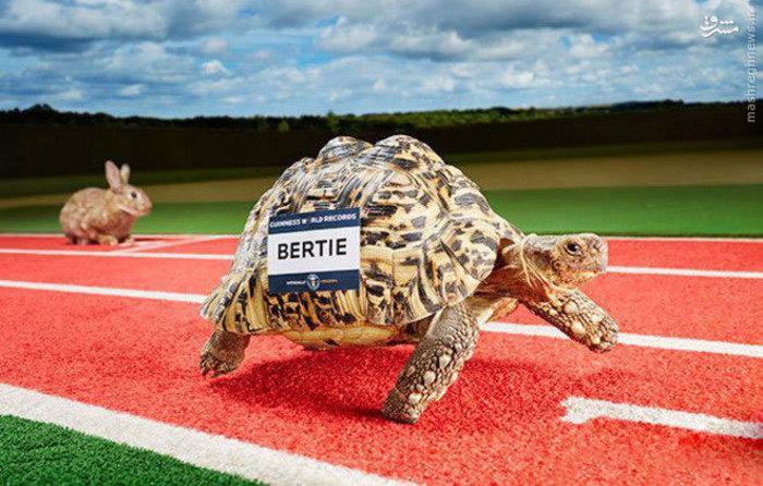 بیشترین سرعت به دست آمده توسط یک لاک پشت 0.28  m / s که توسط  شخصی به نام برتی در  یک ما جراجویی  به ثبت رسید