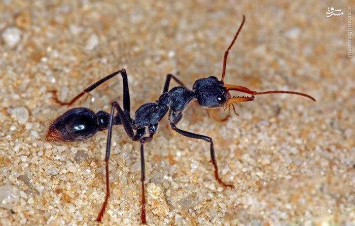 رکورد خطرناک ترین مورچه جهان  با نام