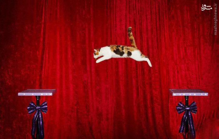 رکوردبلندترین پرش یک گربه را سامانتا مارتین از ایالات متحده آمریکا  به ثبت رسانده که این گربه به ارتفاع 182.88 سانتی متر پرش دارد.