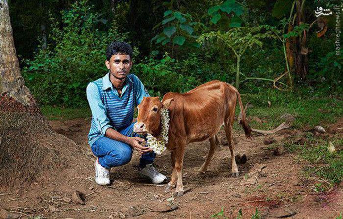 کوتاه قد ترین گاو متعلق به فردی به نام آکشی در هند است که این گاو 61.1 سانتی متر قد دارد .
